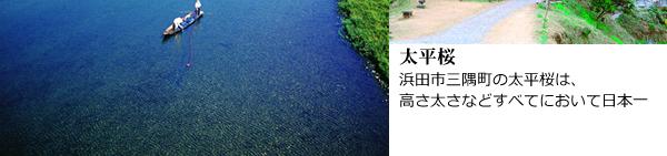 太平桜:浜田市三隅町の太平桜は、高さ太さなどすべてにおいて日本一