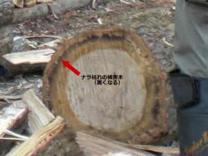 ナラ枯れの被害木